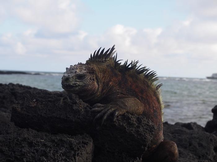 【エクアドル03】世界でここだけ!イグアナと泳げるビーチ。ガラパゴスPart2(サンタクルス島) (27)