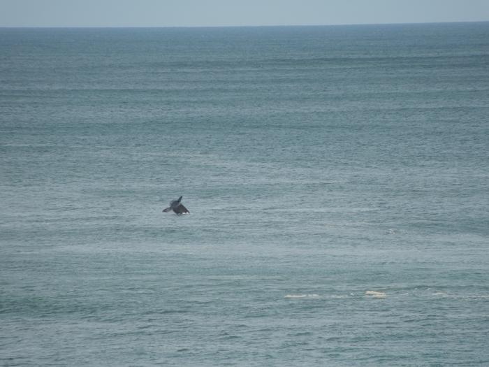 【ハワイ05】オアフでホエールウオッチング・ツアーに参加!ちゃんとクジラが見れました♪ (12)