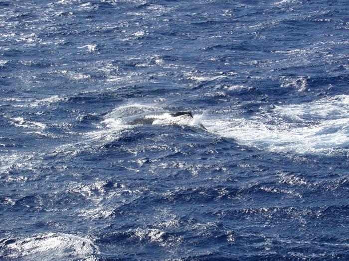 【ハワイ05】オアフでホエールウオッチング・ツアーに参加!ちゃんとクジラが見れました♪ (7)