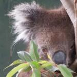 【オーストラリア11】コアラと記念撮影 in シドニー/コアラパーク