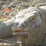 【インドネシア10】世界遺産のコモド国立公園でドラゴンに出会った~!