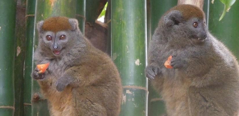 【マダガスカル09】放し飼いのキツネザル園 アンタナナリボのレミュールパーク