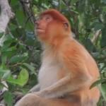 【マレーシア・ボルネオ島02】鼻がぶらぶら コタキナバル発テングザルツアー