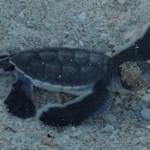 【マレーシア・ボルネオ島05】世界一のカメ島・セリンガン島 通称タートルアイランド